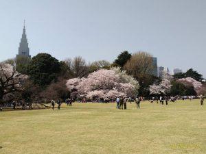 桜の効力は満開、サクラの下で幸せ貰う、桜の散り際に感動する