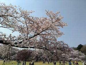 桜で治療、さくらで心癒やす、サクラで幸せ増幅